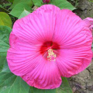 О гибискусе садовом: размножение и выращивание, почему назван цветком смерти