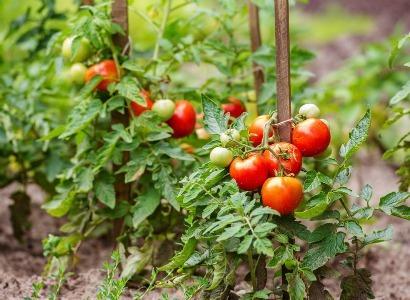 О посадке огурцов после томатов: сажают ли их в теплице и открытом грунте