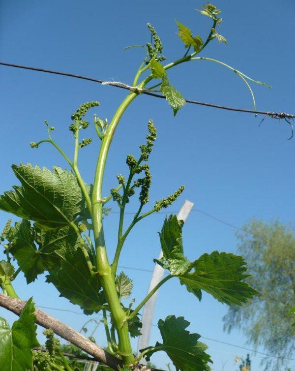 О винограде сфинкс: описание и характеристики сорта, посадка и уход