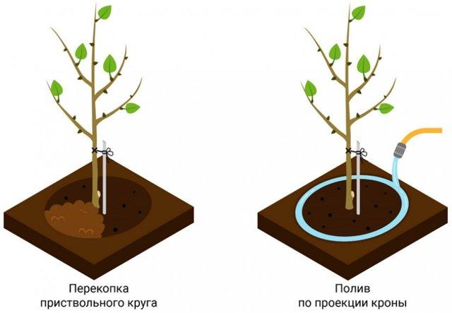 О болезнях абрикоса: почему дерево болеет, что делать (обработать, опрыскать)