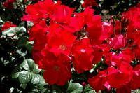 О розе robusta: описание и характеристики парковой розы pink robusta
