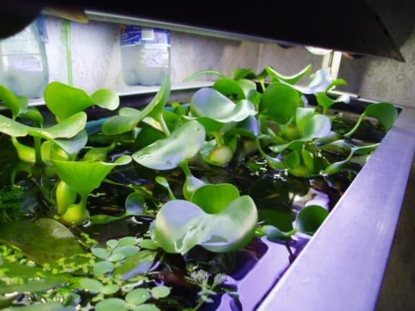 О водном гиацинте (посадка и уход за водяным гиацинтом, содержание эйхорнии)
