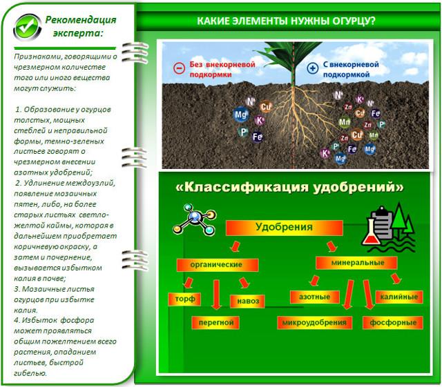 О подкормке огурцов в открытом грунте: как удобрять культуру после посадки