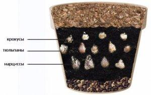 О выращивании и размножении нарциссов в домашних условиях, грунте и горшке