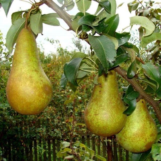 О груше конференция: описание и характеристики сорта, посадка, уход, выращивание