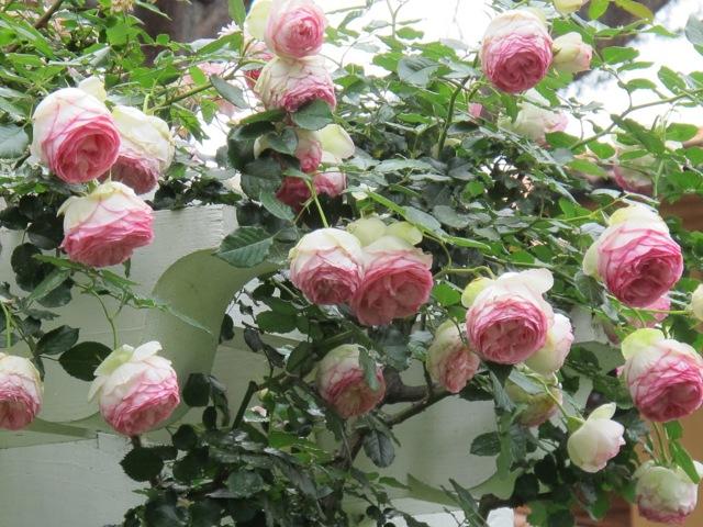 О розе eden rose: описание и характеристики, выращивание сорта плетистой розы