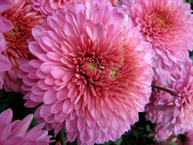 О подкормке хризантем летом в июле, чем удобрять растение перед цветением