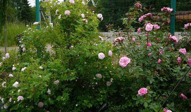 О розе martin frobisher: описание и характеристики сорта канадской парковой розы