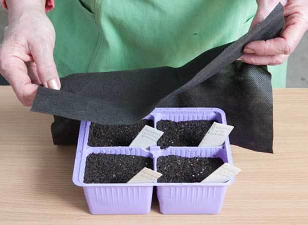 О выращивании дельфиниума из семян в домашних условиях и открытом грунте