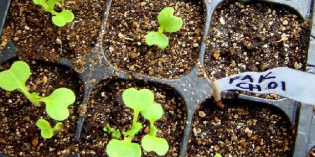 О капусте пак-чой: выращивание китайского сорта, уход в открытом грунте