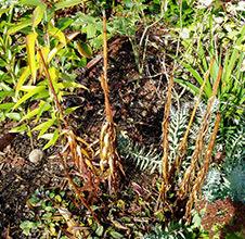 О выкапывании лилий на зиму каждый год (когда выкапывать, как хранить)