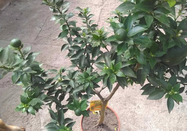 О мандариновом дереве: описание и характеристика, особенности ухода