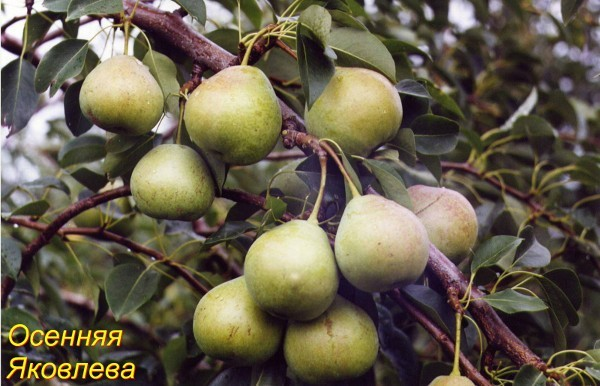 О груше осенняя яковлева: описание сорта, агротехника выращивания