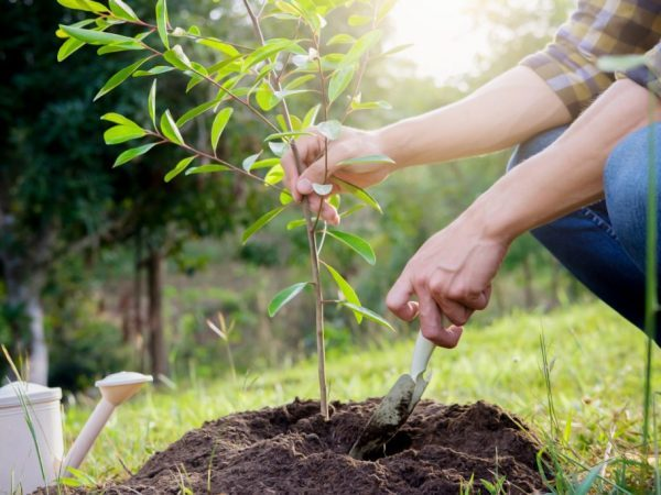 О груше форель (фаррелл, форелл, фарель): описание сорта, агротехника выращивания