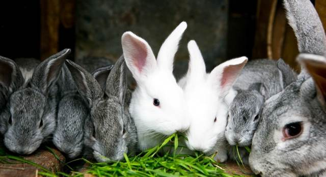 О кроликах, разведении и содержании в домашних условиях в клетках для начинающих