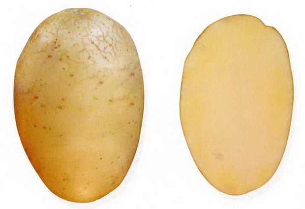 О картофеле азарт: описание семенного сорта, характеристики, агротехника
