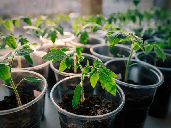 Не растет рассада помидоров, что делать, томат слабый и плохо растет после пикировки