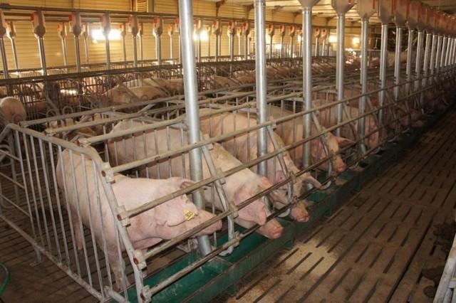 О кормушках для свиней: как сделать корыто для поросят своими руками