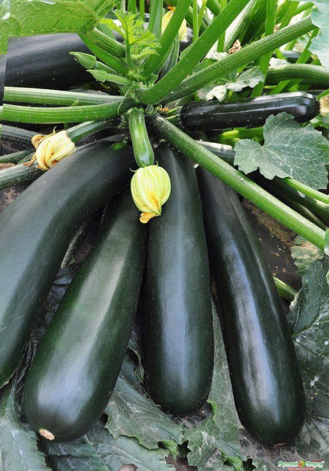 О выборе сорта кабачка: описание и характеристики, условия выращивания и хранения