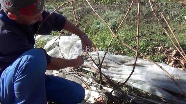 Когда цветет виноград в ростовской области, уход весной и летом
