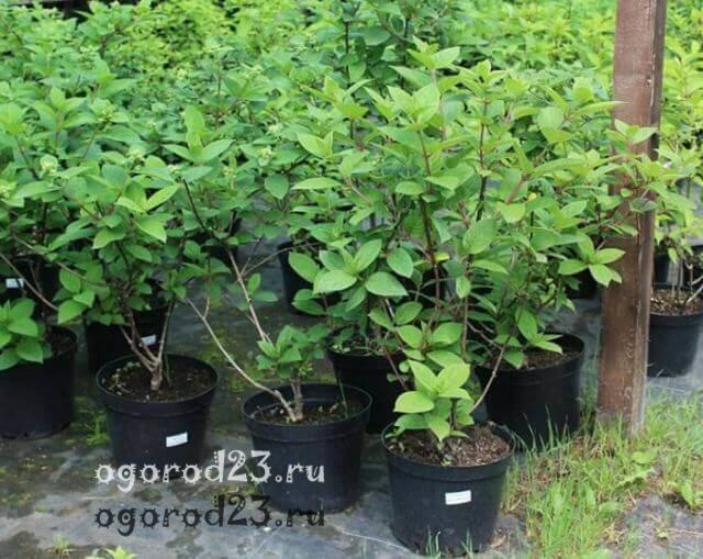 О гортензии садовой: лучшие сорта, посадка и уход, условия для выращивания