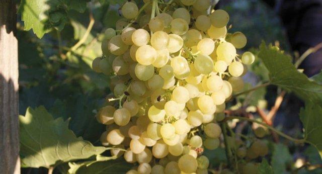 О винограде плевен: описание и характеристики сорта, посадка и уход