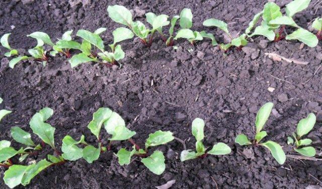 Когда нужно сеять свеклу на рассаду: посев, выращивание без земли