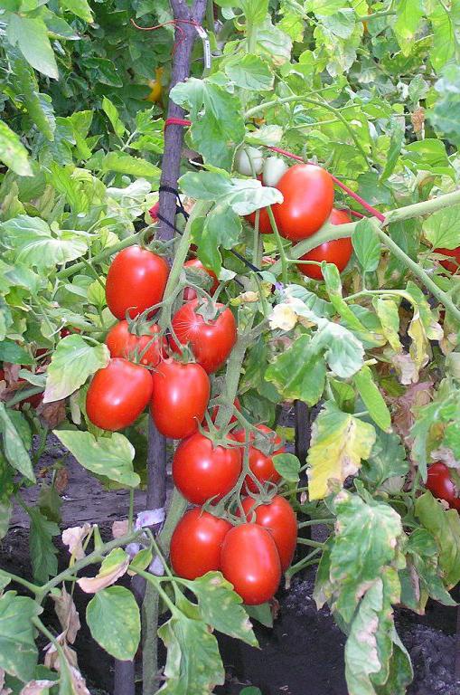 Новичок: описание сорта томата, характеристики помидоров, выращивание