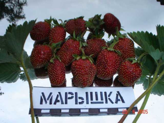 О клубнике марышка: описание сорта, агротехника посадки и выращивания