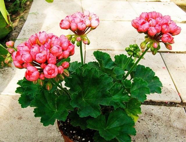 О пеларгонии тюльпановидной: описание сортов, размножение семенами, черенкование
