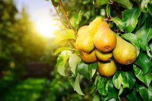 О подкормке груши: чем подкормить во время цветения и плодоношения