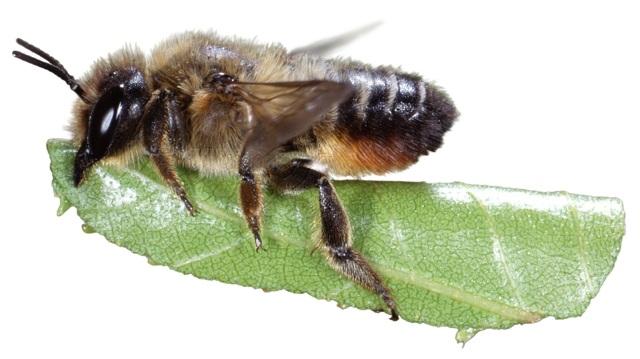 О пчеле листорезе: образ жизни, как бороться, борьба с осой на розах
