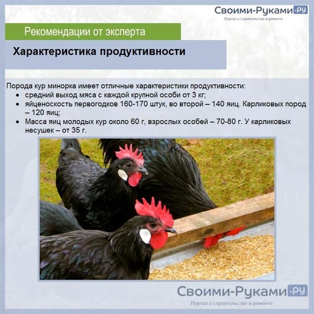 О курах минорка: характеристики породы, разведение, содержание поголовья