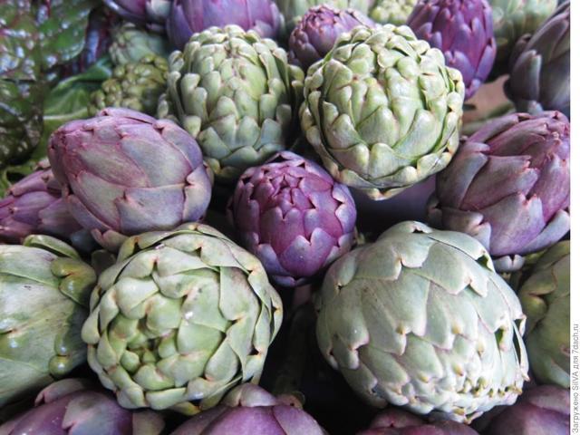 О выращивании артишока из семян: посадка в открытом грунте, уход за культурой