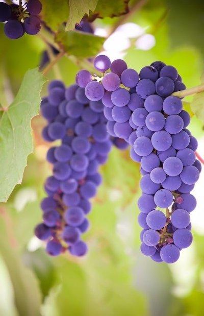 О винограде изабелла: описание и характеристики сорта, посадка и уход