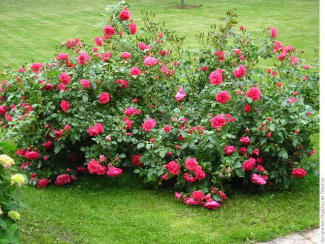 О плетистой розе розариум ютерсен (uetersen rosarium): описание, посадка и уход