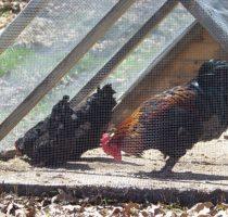 О зимних курятниках своими руками на 30, 50 и 100 кур (теплые курятники)