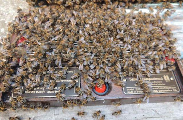 О пчелином яде: состав, как добывают и собирают, влияние на организм человека