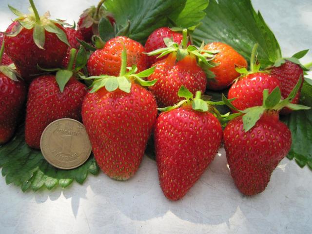 О клубнике роксана: описание сорта, агротехника посадки и выращивания