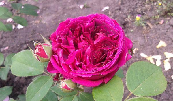 О пионовидных розах: описание сортов, посадка, размножение и уход