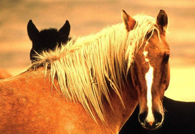 О лошади породы мустанг: дикий конь, история, описание, характеристики