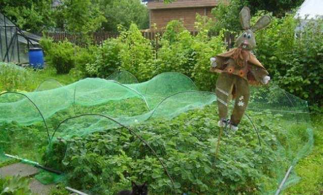 О клубнике: как защитить от птиц, дрозды клюют клубнику, что делать