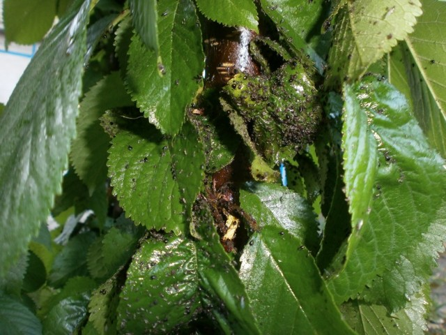 О вредителях калины: способы борьбы, средства для обработки растения