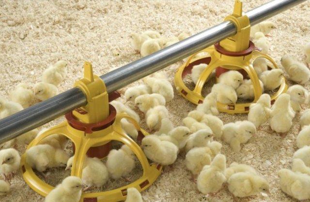 О йодиноле (синем йоде) для кур, бройлеров, цыплят (дозировка, пропорции)