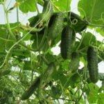 О сортах огурцов: выращивание самых урожайных из ранних и гибридных сортов