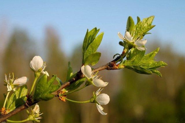 О методах подкормки сливы до и после цветения: удобрения для хорошего урожая