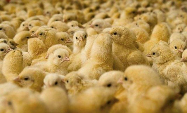 О выращивании бройлеров в домашних условиях: как кормить, разводить цыплят