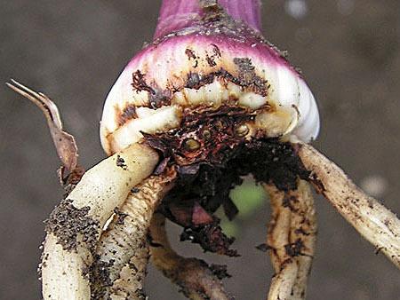 О посадке и уходе за крокусом (шафраном), выращивание в открытом грунте и дома