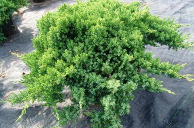 О можжевельнике пфитцериана: описание разновидностей, как посадить и ухаживать