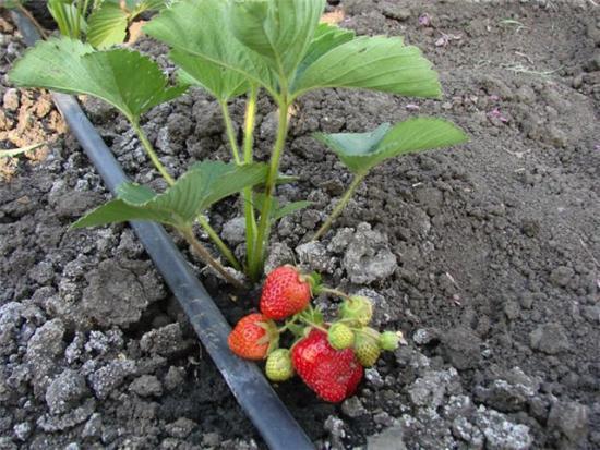 О клубнике викода: описание и характеристики сорта, посадка, уход, выращивание